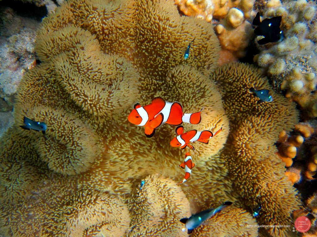Clown fish at Pandan Island
